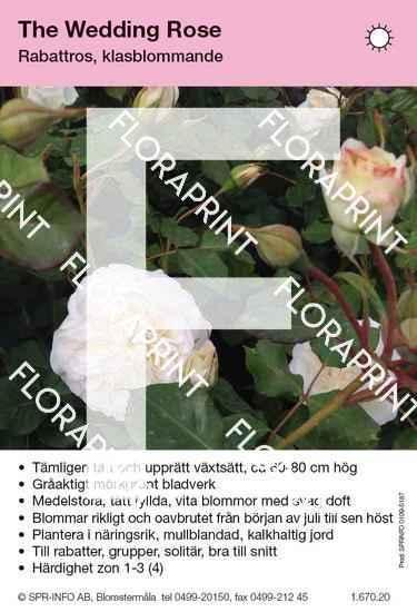 The Wedding Rose