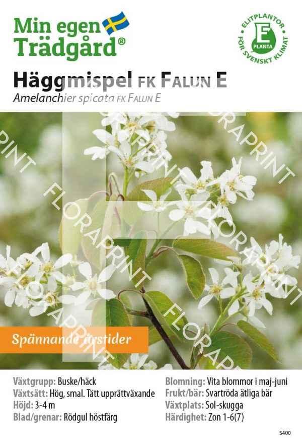 Amelanchier spicata FK FALUN E MS GH OK