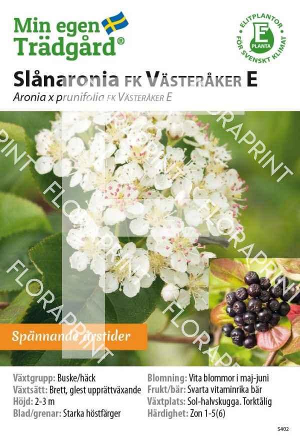 Aronia prunifolia FK VÄSTERÅKER E MS GH OK