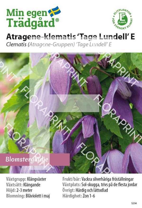 Cl Atragene 'Tage Lundell' E_HR