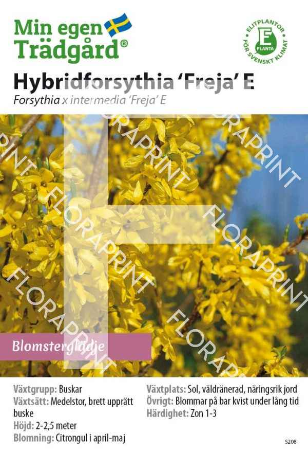 Forsythia x intermedia 'Freja' E_HR