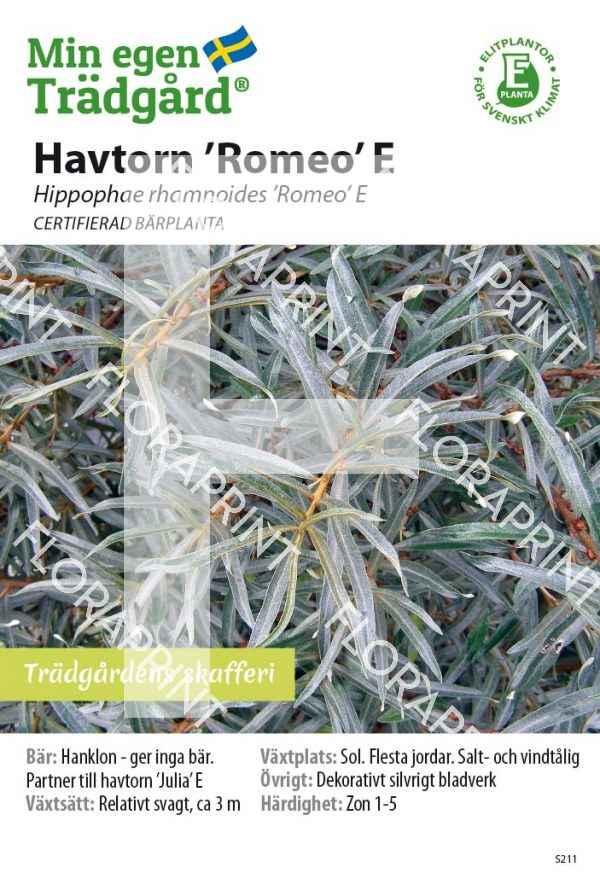 Hippophaë 'Romeo' E_HR