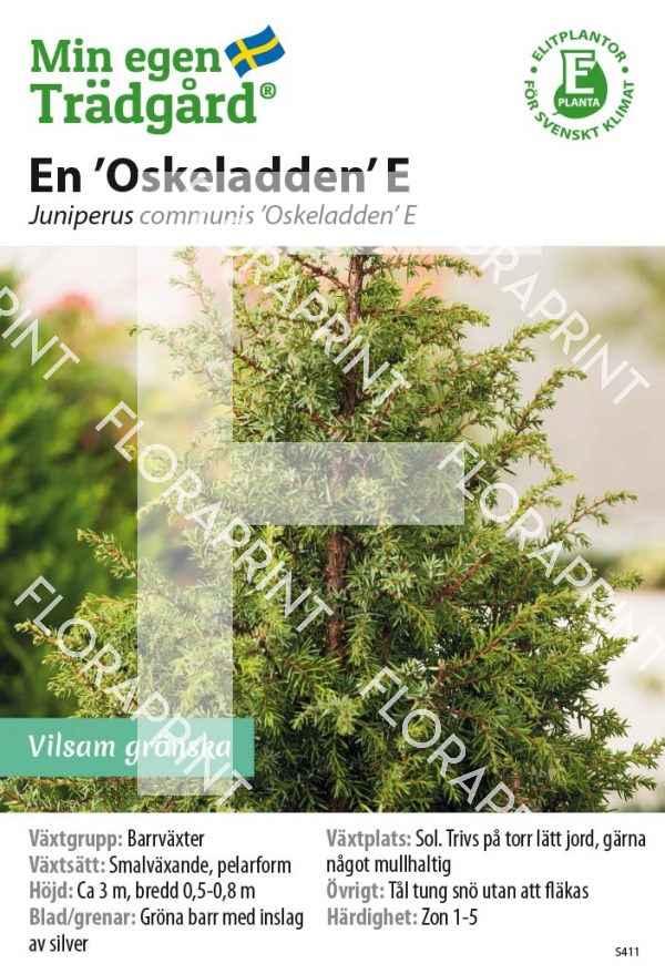 Juniperus communis 'Oskeladden' E MS GH OK